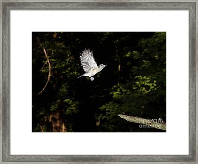 Tufted Titmouse In Flight Framed Print