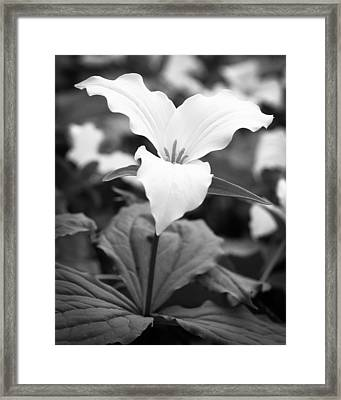 Wild Trillium Framed Print