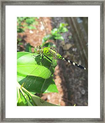 Dragonfly Framed Print by Michele Caporaso