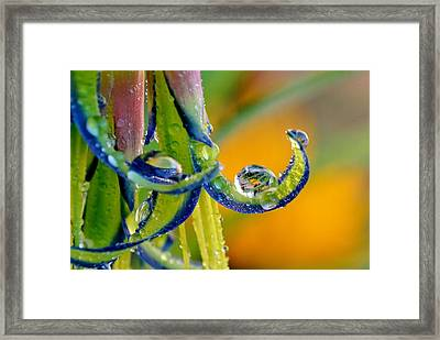 Billbergia Nutans Queen's Tears Framed Print