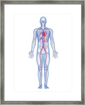Cardiovascular System, Artwork Framed Print by Sciepro