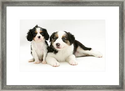 Puppies Framed Print by Jane Burton
