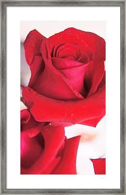 Rose Framed Print by Gornganogphatchara Kalapun