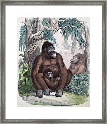 1853 Possible First Gorilla Illustration Framed Print