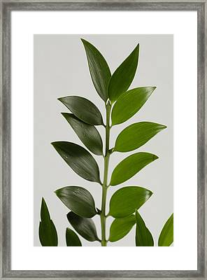A Cocculus Plant Cocculus Laurifolius Framed Print by Joel Sartore
