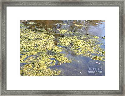 Algae Bloom In A Pond Framed Print by Photo Researchers, Inc.