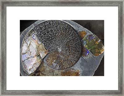 Ammonite Fossil Framed Print by Dirk Wiersma
