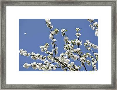 Apple Trees In Full Bloom Framed Print by Wilfried Krecichwost