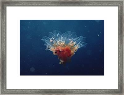 Arctic Jellyfish Off Baffin Island Framed Print