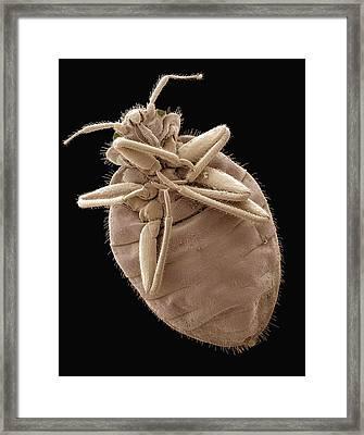 Bedbug, Sem Framed Print by Steve Gschmeissner
