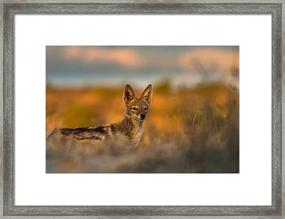 Black-backed Jackal Framed Print by Hein Welman