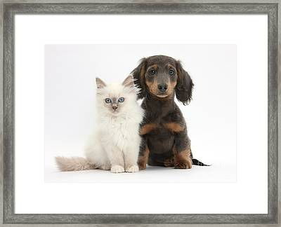 Blue-point Kitten & Dachshund Framed Print by Mark Taylor