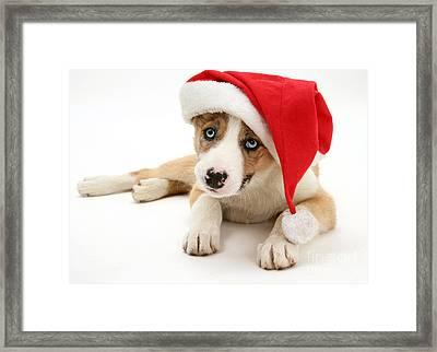 Border Collie Puppy Framed Print by Jane Burton