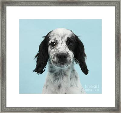 Border Collie X Cocker Spaniel Puppy Framed Print by Mark Taylor