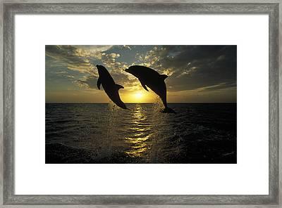 Bottlenose Dolphin Tursiops Truncatus Framed Print by Konrad Wothe