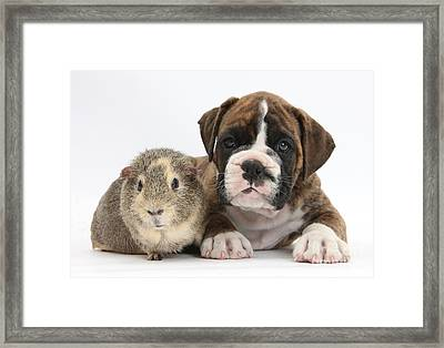 Boxer Puppy And Guinea Pig Framed Print