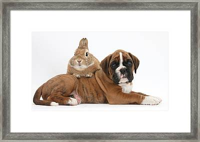 Boxer Puppy And Netherland-cross Rabbit Framed Print