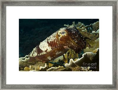 Broadclub Cuttlefish, Papua New Guinea Framed Print by Steve Jones