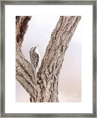 Brown Creeper Framed Print by Jack R Brock