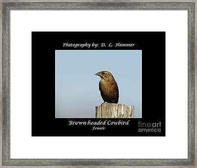 Brown-headed Cowbird Framed Print by Dennis Hammer