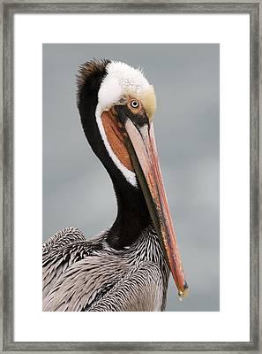 Brown Pelican In Breeding Plumage La Framed Print by Sebastian Kennerknecht