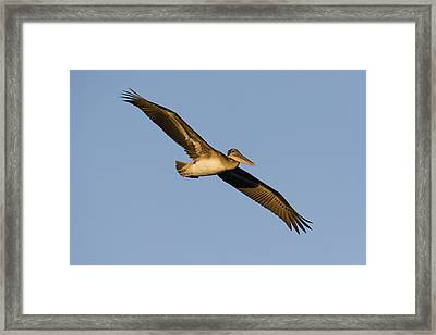 Brown Pelican Juvenile Flying Santa Framed Print by Sebastian Kennerknecht