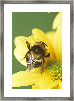 Bumble Bee Pollinating A Flower Framed Print by David Aubrey