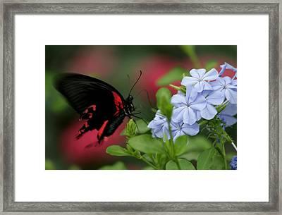 Butterfly Beauty Framed Print by Valia Bradshaw