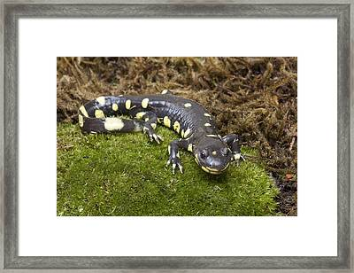 California Tiger Salamander  Monterey Framed Print by Sebastian Kennerknecht