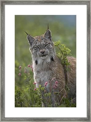 Canada Lynx Portrait North America Framed Print by Tim Fitzharris