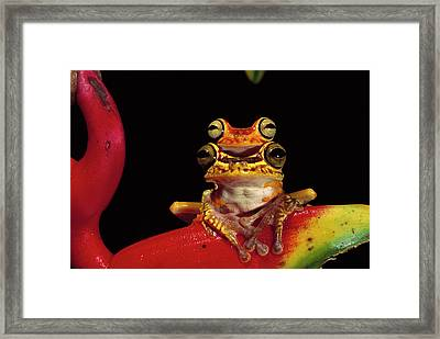 Chachi Tree Frog Hyla Picturata Pair Framed Print by Pete Oxford