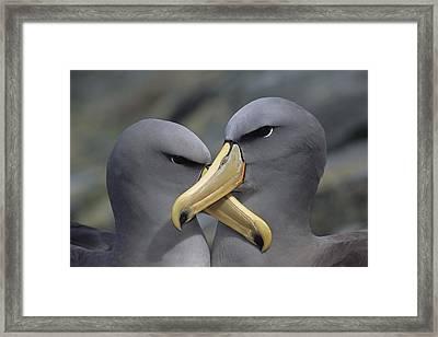 Chatham Albatross Thalassarche Eremita Framed Print