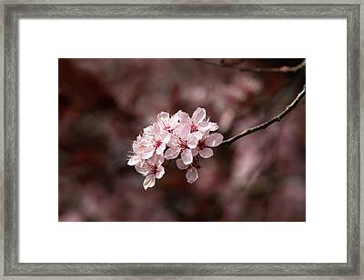 Cherry Blossom Tree Framed Print by Pierre Leclerc Photography