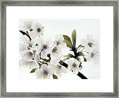 Cherry Blossoms Framed Print by Frank Townsley