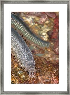 Clam Worm Framed Print by Ted Kinsman