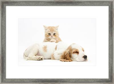 Cocker Spaniel And Kitten Framed Print by Mark Taylor