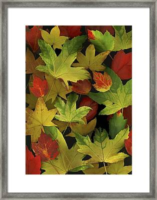 Colorful Autumn Leaves Framed Print
