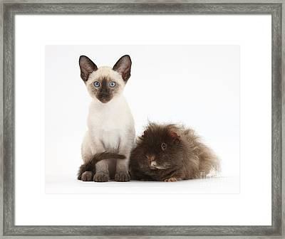 Colorpoint Rabbit And Siamese Kitten Framed Print