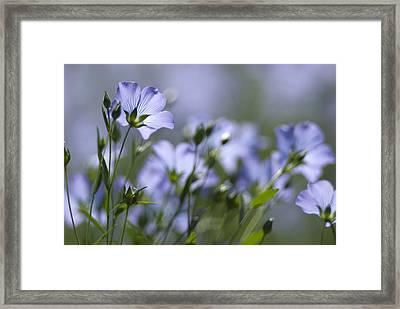 Common Flax (linum Usitatissimum) Framed Print