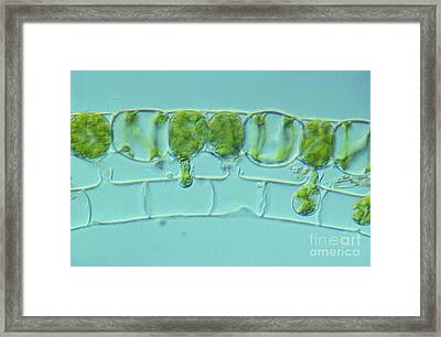 Conjugation In Spirogyra Algae Lm Framed Print by M. I. Walker