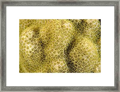 Coral Framed Print by Alexis Rosenfeld