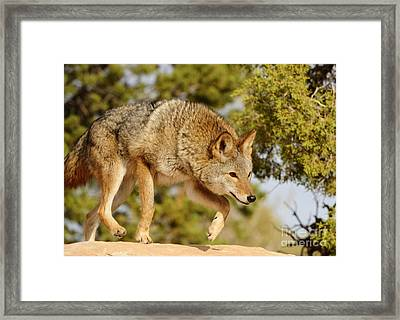 Coyote Hunting Framed Print by Dennis Hammer