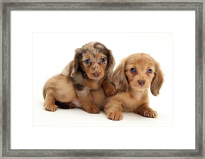 Dachshund Pups Framed Print by Jane Burton