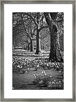 Daffodils In St. James's Park Framed Print