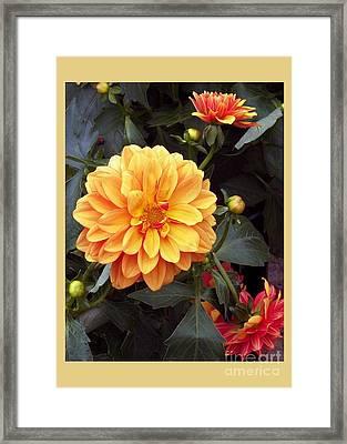 Dahlias Framed Print by Dale   Ford