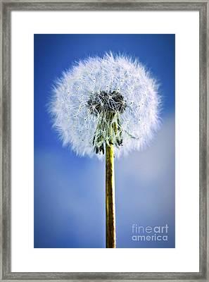 Dandelion Framed Print by Elena Elisseeva