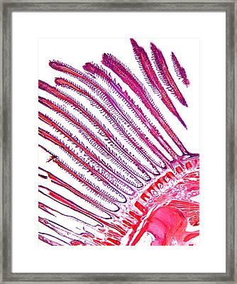 Dogfish Gill, Light Micrograph Framed Print