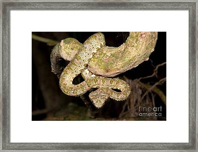 Eyelash Viper Framed Print by Dante Fenolio