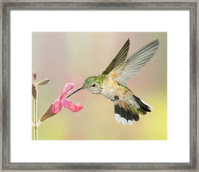 Female Broadtail Hummingbird Framed Print by Gregory Scott