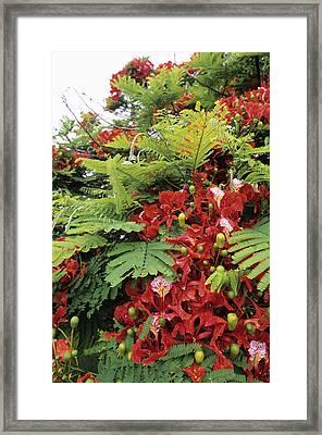Flamboyant Tree Framed Print by David Nunuk